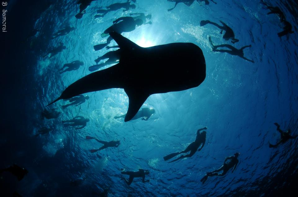 כריש לוויתן חמוד שנהנה מחברתנו במלדיביים