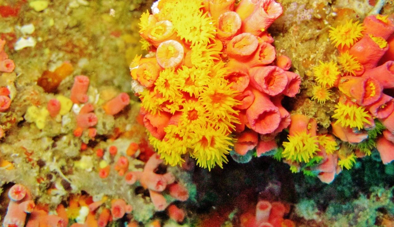 אלמוגים תת ימיים באיזור Ari Atoll, מאלדיביים