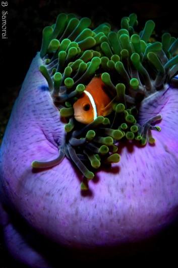 שושנת ים סגולה ונמו משחקים בין הבועות
